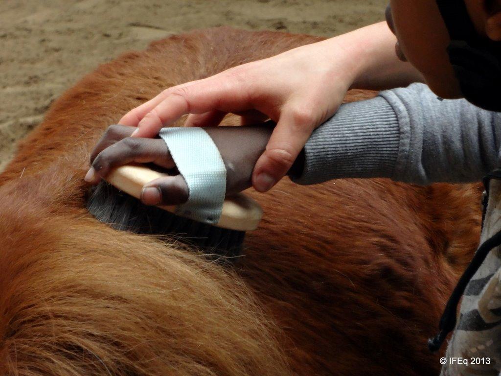 un équithérapeute travaille la motricité fine en séance à l'occasion du pansage